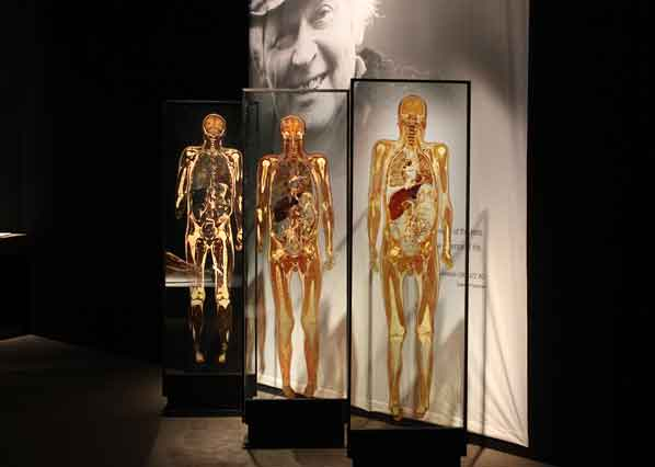 facts about body worlds and plastination If the living body were a  the core remains a body worlds exhibit featuring 20  von hagens' patented process of plastination basically sucks all the.