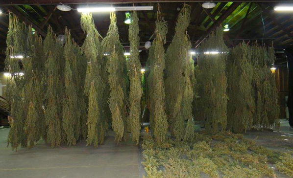 Cannabis Drying Rack Classy 6060 Tons Of Pot Confiscated In Lents Warehouse Raid East PDX News